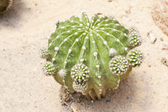 Cactus. Is a plant that needs very little water Stock Images