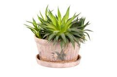 Cactus. Green cactus in a pot Royalty Free Stock Photos