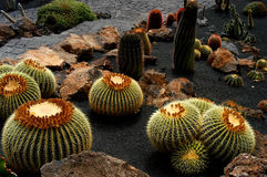 Cactus. At lanzarote island Royalty Free Stock Photo