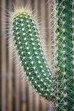 Cactus. Spiky succulent green plants with spines Stock Image