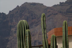 Cactus. And the mountain Royalty Free Stock Photo