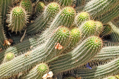 Cactus. Close-up of a prickly cactus, exotic plants Stock Photo