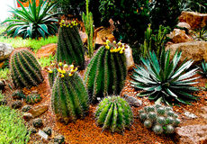 The Cactus royalty free stock photography