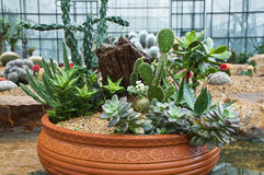 Cactus. Various type of cactus in clay pot royalty free stock photography