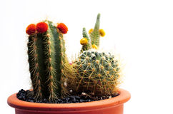 Cactus. With colored blossomed flowers, isolated Royalty Free Stock Photography