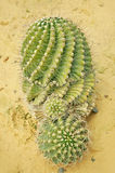 Cactus. Spiral Cactus on the sand Stock Images