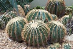 Cactus Photographie stock