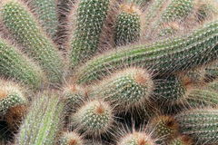 Cactus. Echinopsis chamaecereus cactus with many spikes making it look soft stock images
