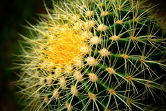 Cactus. Close up shot of a cactus flower. Shallow focus Royalty Free Stock Image