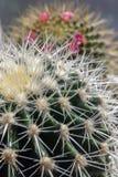Cactus. Immagini Stock Libere da Diritti
