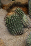 Cactus. Big green prickly cactus on stones Stock Photos