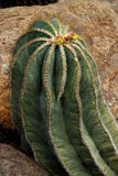 Cactus. Big green prickly cactus on stones Stock Photo