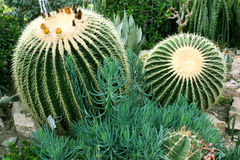 Cactus. Two round cacti in a beautiful green garden stock photo
