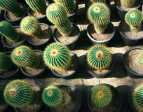 Cactus Royalty Free Stock Images