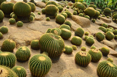 Cactus. At Nong Nooch Tropical Garden,Thailand Stock Photo