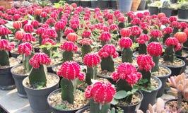 Cactus. Thailand Desert Arid Summer Green Barbed stock photo