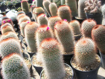 Cactus. Thailand Desert Arid Summer Green Barbed royalty free stock images