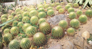 Cactus. Thailand Desert Arid Summer Green Barbed royalty free stock photography