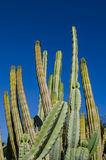 Cactus. Group of cactus against a blue sky Royalty Free Stock Images