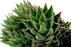 Cactus. Closeup Stock Image