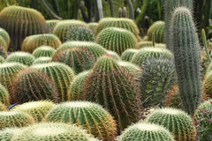 Cactus. Many kinds of cactus in green house Royalty Free Stock Image