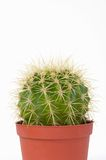 Cactus. A cactus isolated on white background Royalty Free Stock Images