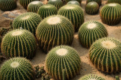 Cactus. A lot of cactus in desert Stock Image