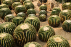 Cactus. A lot of cactus in desert Royalty Free Stock Photography