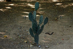 Cactus. Plant on agricultural land Stock Photography