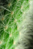 Cactus. Dewy needles of the cactus royalty free stock photography