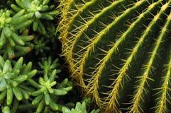 Cactus. Desert plants cactus plants close-up stock image