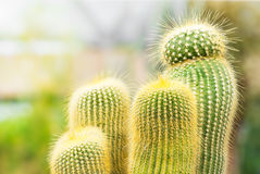 Free Cactus Royalty Free Stock Photography - 42169807