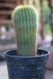Cactus Fotografie Stock