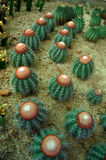 Cactus. A group of cactus plants Royalty Free Stock Photo