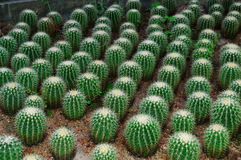 Cactus. A group of cactus plants Stock Image