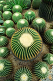 Cactus. A group of cactus plants Royalty Free Stock Images