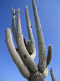 Cactus. Large cactus with blue sky in Arizona, USA royalty free stock photography