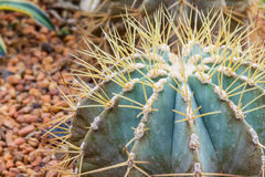 Cactus-6 Royalty-vrije Stock Foto