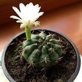 Cactus Stock Foto