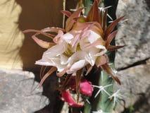 Cactus Fotografia Stock