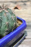 Cactus Immagine Stock