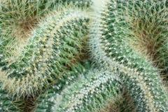 Cactus Stock Afbeelding