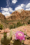 Cactus. Blossom in Zion, Utah Stock Photo