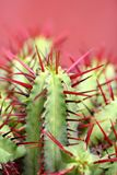 Cactus. With red needles on red background royalty free stock photo