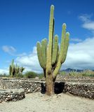 Cactus. A large cactus among the Quilmes ruins in Argentina stock image