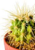 Cactus. On white background Stock Photos