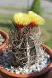 Cactus Stock Foto's