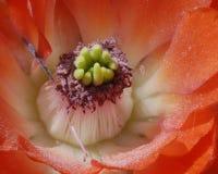Cactus Royalty-vrije Stock Foto