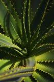 Cactus. Close-up Royalty Free Stock Photo