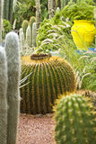 Cactus. A closeup views of several varieties of cactus in a garden stock photography
